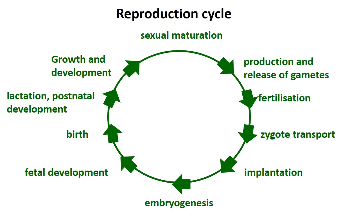 Reproduction and developmental toxicology without animal